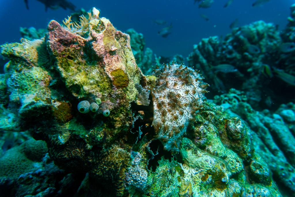 buceo-pepino-de-mar